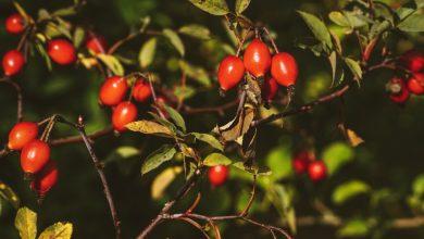 Photo of Šípky jako neobyčejně krásná přírodní dekorace